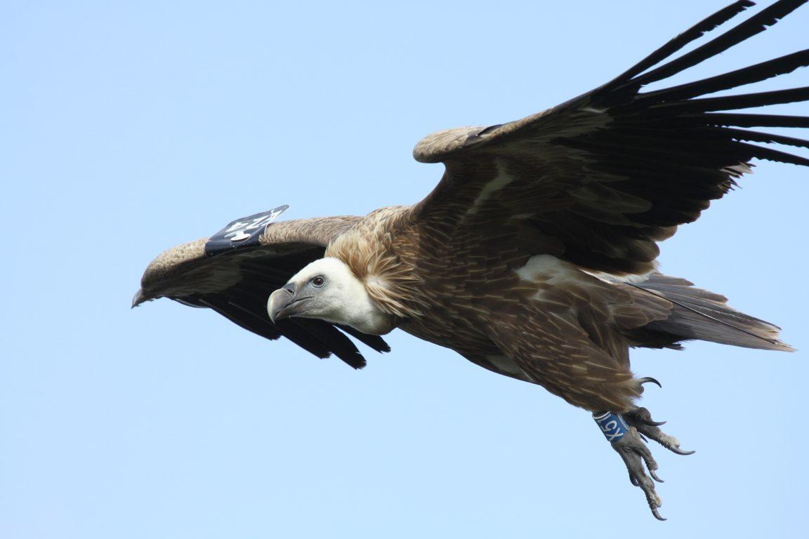 נשר בתעופה - צילום עידו שקד, אקולוג ברשות הטבע והגנים