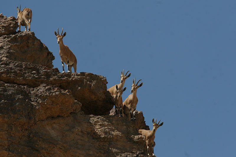 יעלים בגן לאומי עין עבדת - צילום דותן רותם, אקולוג ברשות הטבע והגנים