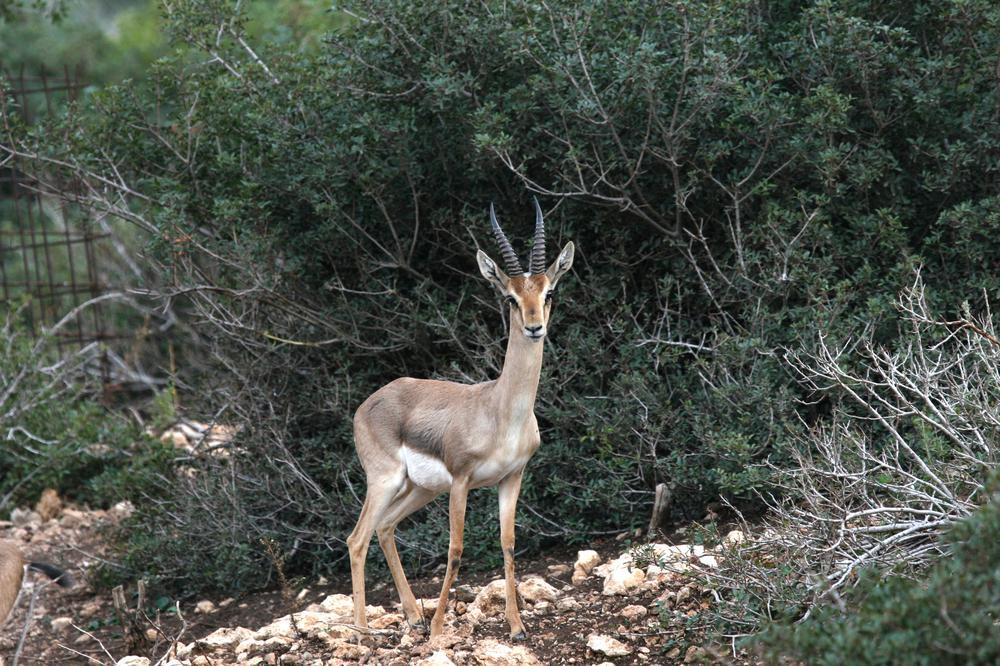 צבי ארצישראלי